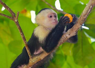 Photograph - White-faced Capuchin by Brian Magnier