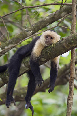 Osa Wall Art - Photograph - White-faced Capuchin Costa Rica by Suzi  Eszterhas