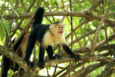 Capuchin Photograph - White-faced Capuchin Monkey Cebus by Panoramic Images