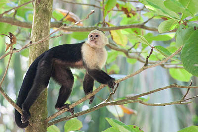 Capuchin Photograph - White-faced Capuchin On The Move by Natural Focal Point Photography