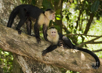 Photograph - White-faced Capuchins by Dan Suzio