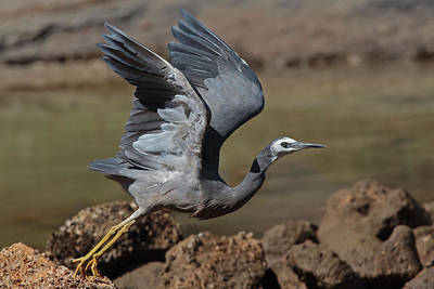 Photograph - White-faced Heron  by Tony Brown