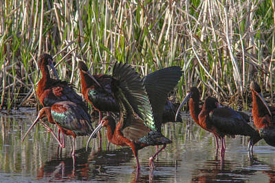 Photograph - White-faced Ibis  by Jill Bell