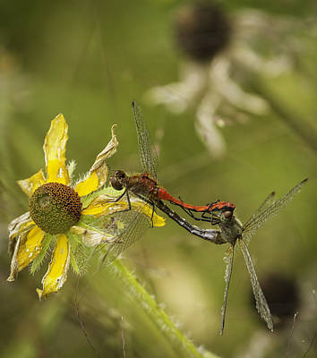 Dragonflies Mating Photograph - White-faced Meadowhawks Mating by Thomas Young