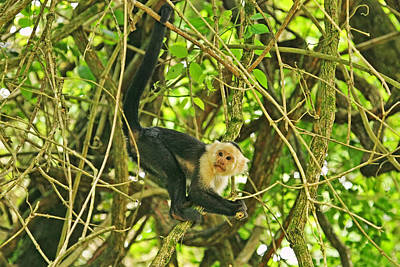 Photograph - White Faced Monkey In Costa Rica by Peggy Collins