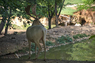 Digital Art - White Fallow Deer Buck  by Chris Flees