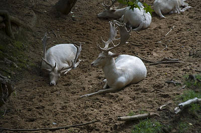 Digital Art - White Fallow Deer Bucks Group by Chris Flees