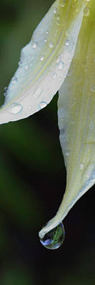 State Parks In Oregon Photograph - White Fawn Lily Erythronium Oregonum by Panoramic Images