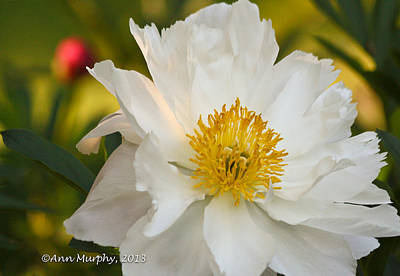 Photograph - White Floribunda Rose by Ann Murphy
