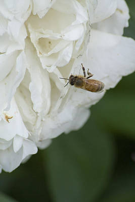 Flower Photograph - White Flower And Bee by Gary Marx