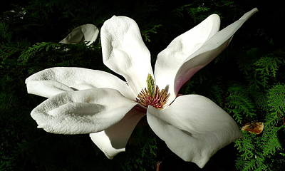 White Flower  Art Print by Dwight Pinkley