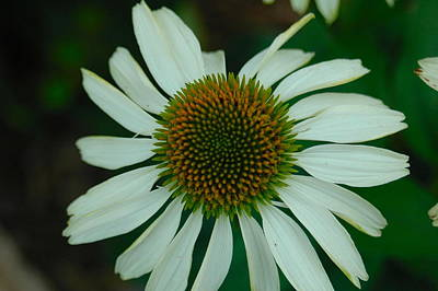 Belle Isle Photograph - White Flower by Gary Marx