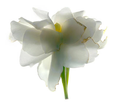Still Life Digital Art - White Flower by Julia McLemore