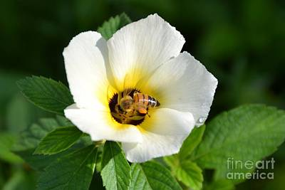 Photograph - White Flower- Nectar by Darla Wood