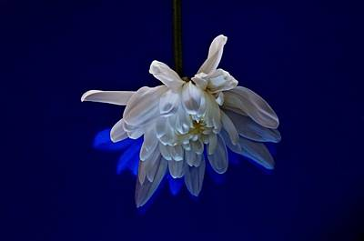 Photograph - White Flower On Dark Blue Background by Phyllis Meinke