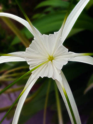 Spider Flower Photograph - White Flower Spider by Ym Chin