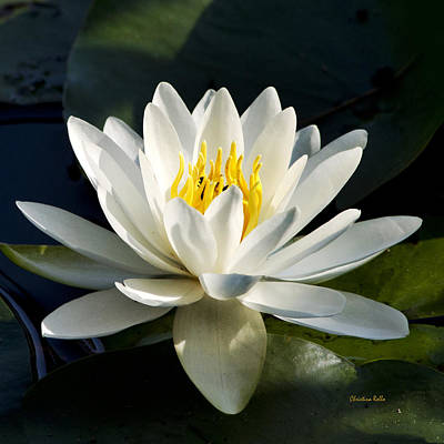 Rollos Photograph - White Water Lily by Christina Rollo