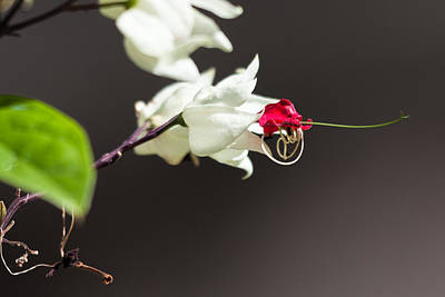 Clouds Rights Managed Images - White Flower With A Red Center Royalty-Free Image by Craig Lapsley