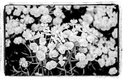 Art Print featuring the photograph White Flowers  by Craig Perry-Ollila