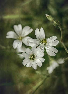White Flowers Print by Gynt