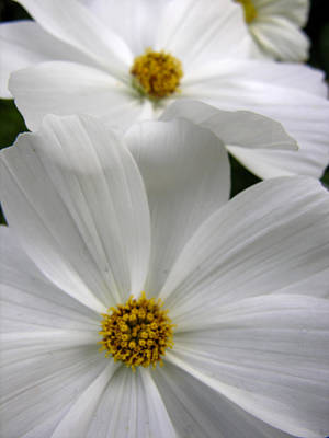 Photograph - White Flowers by Robert Lozen