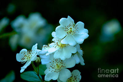 Photograph - White Flowers by William Norton