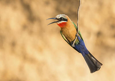 White-fronted Bee-eater Calling Tanzania Print by Wim Werrelman