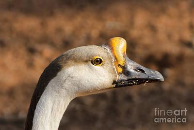 Goose Portrait Photograph - White Fronted Goose-portrait by Douglas Barnard