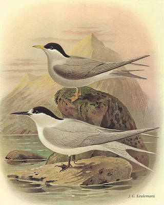 Shorebird Painting - White Fronted Tern And Black Fronted Tern by Dreyer Wildlife Print Collections