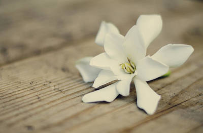 Photograph - White Gardenia by Heather Applegate