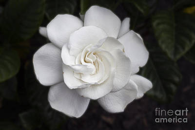 Photograph - White Gardenia by Michael Waters