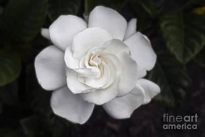 White Gardenia Original