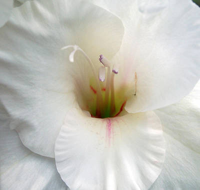 Photograph - White Gladiolus by Cara Moulds