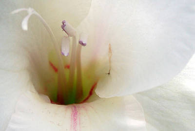 Photograph - White Gladiolus II by Cara Moulds