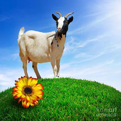 Pasture Scenes Photograph - White Goat by Carlos Caetano