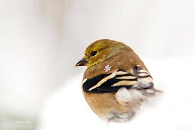 Photograph - White Gold Goldfinch by Christina Rollo