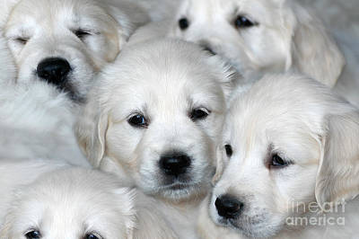 Photograph - White Golden Retriever Puppies by Dog Photos