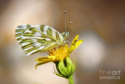 White Green Veined Butterfly Art Print by Kasia Bitner