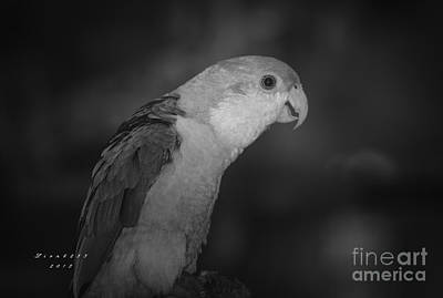Photograph - White Headed Caique by Melissa Messick