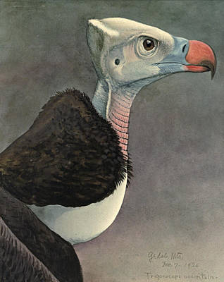 Vulture Painting - White Headed Vulture by Dreyer Wildlife Print Collections