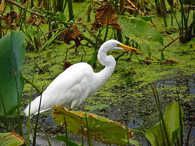 Photograph - White Heron Feeding by Shawna Rowe