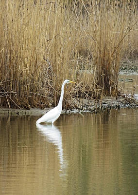 Photograph - White Heron On The Hunt by Shawna Rowe