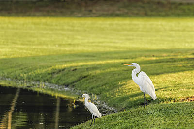 Photograph - White Heron by Peter Lakomy