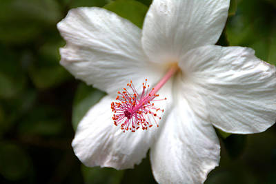 Photograph - White Hibiscus by Brian Harig