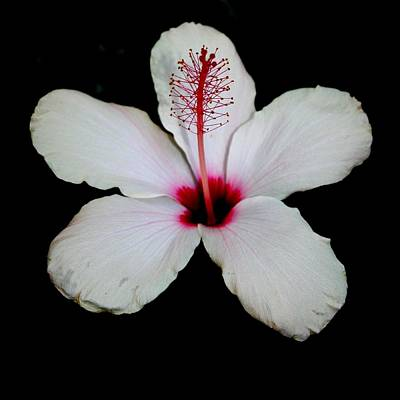 Photograph - White Hibiscus Isolated On Black Background by Tracey Harrington-Simpson
