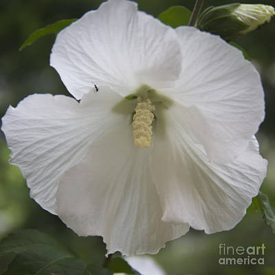 Althea Photograph - White Hibiscus Squared by Teresa Mucha