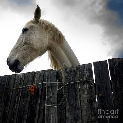 Gray Horses Photograph - White Horse by Bernard Jaubert