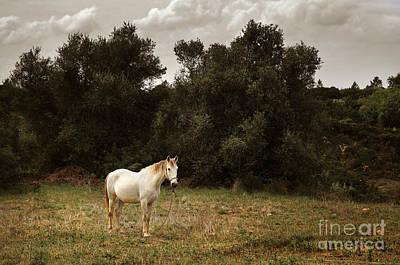 Thoroughbred Farm Photograph - White Horse by Carlos Caetano