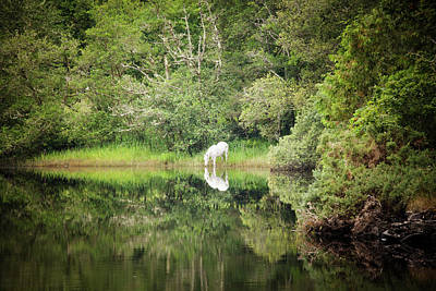 White Horse Drinking Water Art Print by Peter McCabe