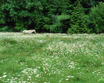 White Horse In A Field Of White Art Print